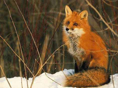 Beautiful_red_fox